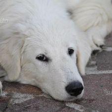 cuccioli maremmano con importante pedigree Milano