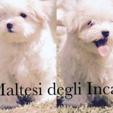 allevamento maltesi cuccioli disponibili Milano