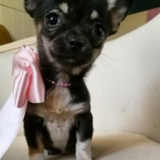 Chihuahua cucciola mini con pedigree.  Milano