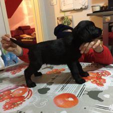 cuccioli labrador retiever Bergamo