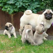 Disponibili cuccioli di Carlno Bergamo