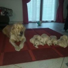cuccioli di Golden  retriver Bergamo