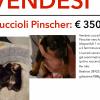 Vendo stupendi cuccioli di pinscher colore nero focato Bergamo