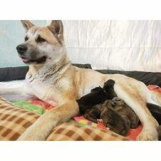 vendita cuccioli Akita Brescia