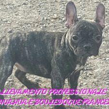 Bouledogue bulldog francese  Brescia