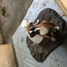 Cuccioli Boxer Pavia
