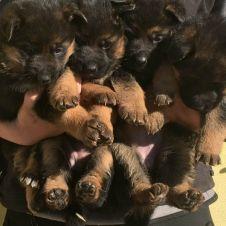 pastore tedesco cuccioli  Pavia