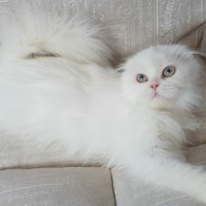 Scottish Fold Highland Bianco per accoppiamento Pavia
