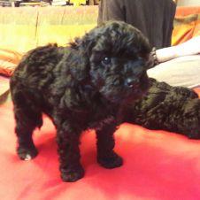 Annunci animali regalo cerco e vendo cucciolo cane gatto for Cane barboncino toy