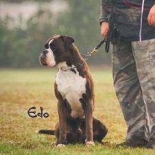 boxer maschio  Pavia