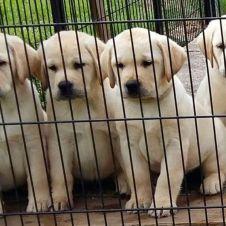 Cuccioli di Labrador Retriever disponibili Cremona