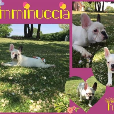 Cuccioli Bouledogue-Bulldog francese con Pedigree Mantova