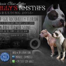 Cuccioli American Staffordshire Terrier Lecco