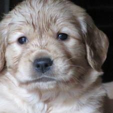 Stupende cucciole Golden Retriever femmine  a lodi Lodi