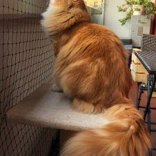 Gatto siberiano maschio per accoppiamento Trento