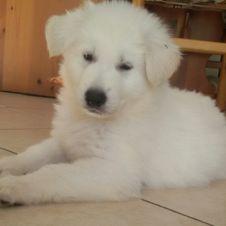 Cuccioli di Pastore Svizzero bianco Trento