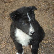 cucciolo nero e bianco Trento
