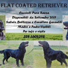 Cuccioli Flat Coated Retriever  Vicenza