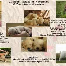 Cuccioli Golden Retriever Vicenza