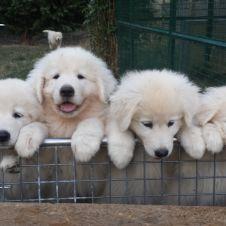 cuccioli di pastore maremmano abruzzese Vicenza