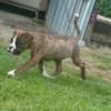 boxer cuccioli Treviso