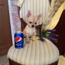 chihuahua bellissimo cucciolo privato vende Treviso