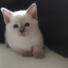 Cuccioli gatto razza Thai  Padova