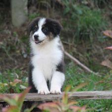 Australian Shepherd cuccioli Rovigo