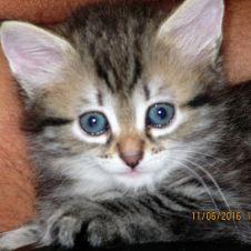 Splendidi gattini siberiani ipoallergenici Genova