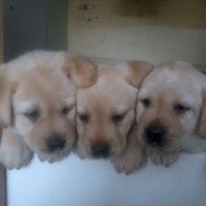 cuccioli labrador con pedigree enci  Genova