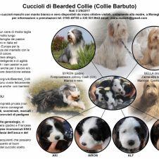 Cuccioli di razza Bearded Collie Genova