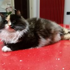 cuccioli gatto Siberiano ipoallergenico Genova