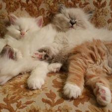 cuccioli di gatto siberiano Genova