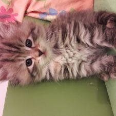 Cuccioli gatti siberiano con pedigree  La Spezia