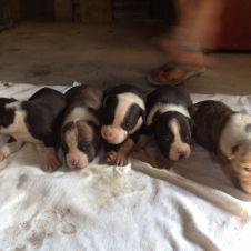 Cuccioli Amstaff Savona