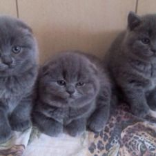 Scottish fold blu Piacenza