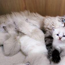 Cuccioli di gatto siberiano Neva Masquerade, allevamento Goddess Tara Piacenza