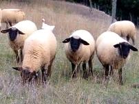 agnelli di razza suffolk Parma