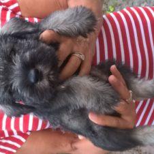 Ultimo cucciolo di Schnauzer medio pepe e sale Parma