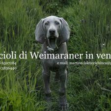 weimarainer cuccioli Reggio Emilia