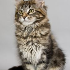 Maine coon Modena