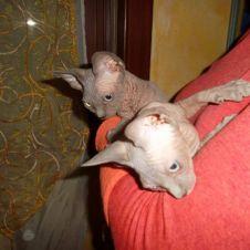 Cuccioli Sphynx in regalo Bologna