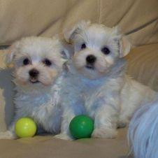 cuccioli di maltese taglia toy Bologna
