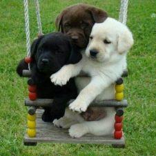 Disponibili bellissimi cuccioli labrador retriever Bologna