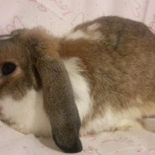 regalo TRUDY  dolcissimo coniglio nano ariete Bologna