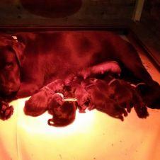 Cuccioli labrador con pedigree pronti a Natale! Bologna