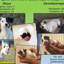 Disponibili cucciole di Jack Russell Terrier Ferrara