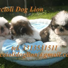 cuccioli di Shih Tzu Ferrara