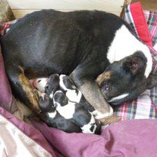 Bull Terrier Cuccioli Ferrara