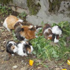 vendo cavie peruviane pelo lungo Ferrara